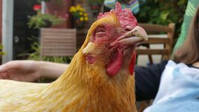 Blissful chicken smiling. A chicken sitting in the garden with a smile on his face Royalty Free Stock Images