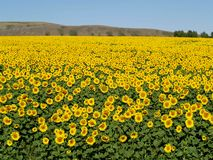Blissful Field Of Sunflowers 2 Stock Photos