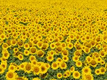 Blissful Field Of Sunflowers 4 Stock Image