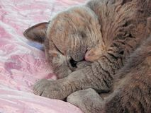 Blissful sleeping pedigree cat Royalty Free Stock Images
