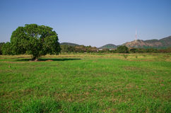 Blissful tree. In the rice field with the mountain in the back Royalty Free Stock Photos