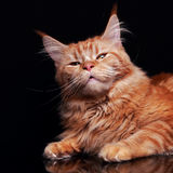 Blissing female red solid maine coon cat with beautiful brushes Stock Photography