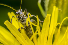 Blister Beetle stock photo
