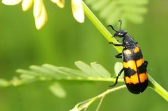 Blister beetle Stock Image
