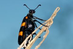 Blister beetle and blue sky Stock Images