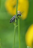 Blister Beetle climbing a plant Royalty Free Stock Photography