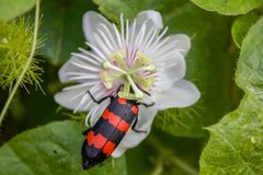 Blister beetle close up shot,with black and red stripes sitting on a white ornamental flower royalty free stock image
