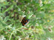 Blister Beetle Couple Resting Side by Side on the Young Green Leaf. Close up Stock Photo