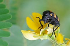 Blister beetle and flower Royalty Free Stock Image