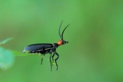 Blister Beetle Stock Photos