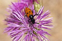 Blister beetle, Oil beetle Stock Images