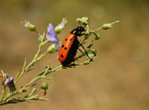 Blister beetle Royalty Free Stock Photo