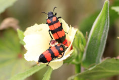 Blister beetles Royalty Free Stock Images