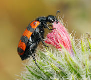 Blister beetles on a flower Stock Images