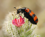 Blister beetles on a flower. Poisonous blister beetles with bright black and red warning coloration Stock Photos