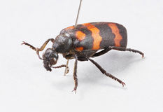 Blister beetles - mylabris phalerata. Close up died blister beetles - mylabris phalerata with insect entomology pins on gray paper - stacked photo - deep focus Royalty Free Stock Photography