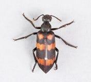 Blister beetles - mylabris phalerata. Close up died blister beetles - mylabris phalerata with insect entomology pins on gray paper - stacked photo - deep focus Royalty Free Stock Photo