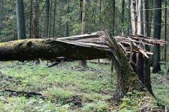 Blixt slogg i ett träd arkivbilder
