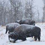 Blizzard Bison. Bison graze during a mid winter blizzard stock image