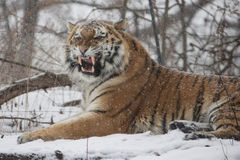 Blizzard Cat Stock Photo