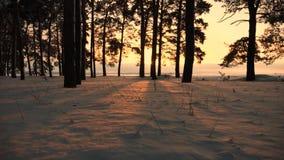 Blizzard in de winterbos van de winter bos Mooi Kerstmis bij zonsondergang pijnbomen in park met sneeuw heldere stralen die wordt stock video