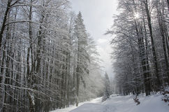 Blizzard in the forest royalty free stock image