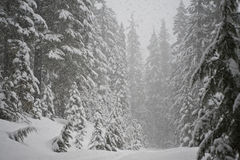 Blizzard in pine forest Royalty Free Stock Photo
