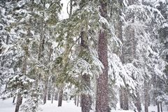 Blizzard in pine forest Stock Photos