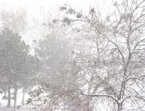 Blizzard and trees. Snow storm and trees Stock Photos