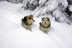 Blizzard and two dog Royalty Free Stock Images