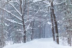 The blizzard in the winter forest or park with the falling snow royalty free stock image