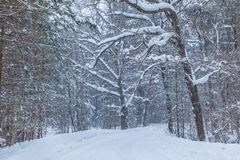 The blizzard in the winter forest or park with the falling snow royalty free stock photos