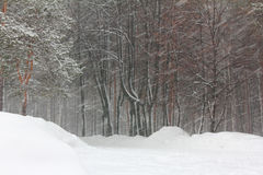 Blizzard in winter park. Snowfall and blizzard in winter forest Royalty Free Stock Photography