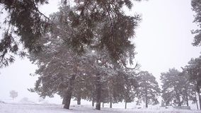 Blizzard in winter park pine trees in park covered with snow blizzard in pine park. Blizzard in winter park pine trees in park covered with snow blizzard in stock video
