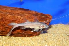 Bllackhand-Paradies-Fische Stockfoto