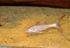 Bllackhand-Paradies-Fische Lizenzfreie Stockbilder