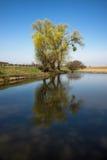 Blloming-Weide auf dem Teichrand Stockbilder