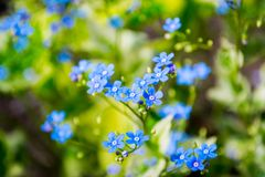Forget me not. Bllosom spring flowers. Ladscape, sunshine and fresh nature. Blue forget me not flower royalty free stock photography