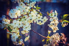 Bllossoming-Kirschbaum auf dunklem Hintergrund Lizenzfreie Stockbilder