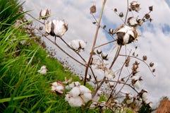 Blls do algodão Imagens de Stock Royalty Free