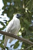 Bloß-throated Bellbird (Procnias nudicollis) Lizenzfreie Stockfotos