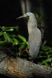Bloß-Throated Tiger Heron Stockfotos