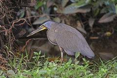 Bloß-Throated Tiger Heron in der Bürste Stockbilder