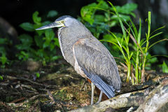 Bloß-Throated Tiger Heron in Tortuguero Stockfotografie