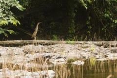 Bloß-throated Tigerreiher auf einem Baumstamm Lizenzfreie Stockfotos
