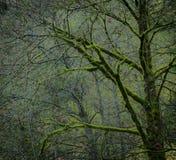 Bloße Bäume bedeckt im hellgrünen Moos Lizenzfreie Stockbilder