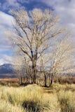 Bloße Bäume, golden im Winter Lizenzfreie Stockfotografie