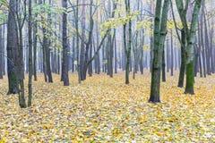 Bloße Bäume im nebeligen Wald des Herbstes mit gefallenen gelben Blättern Lizenzfreies Stockfoto