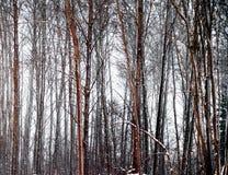 Bloße Bäume im Winterabend Stockfotos