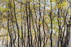 Bloße Bäume mit gelben Blättern im Herbstwald Stockfotografie